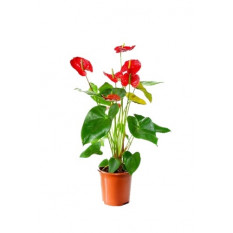 Red Anthurium Plant (Refined)