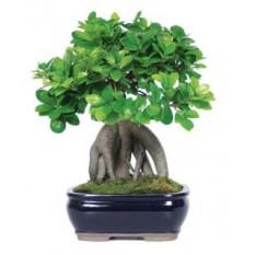 Bonsai (piccolo)